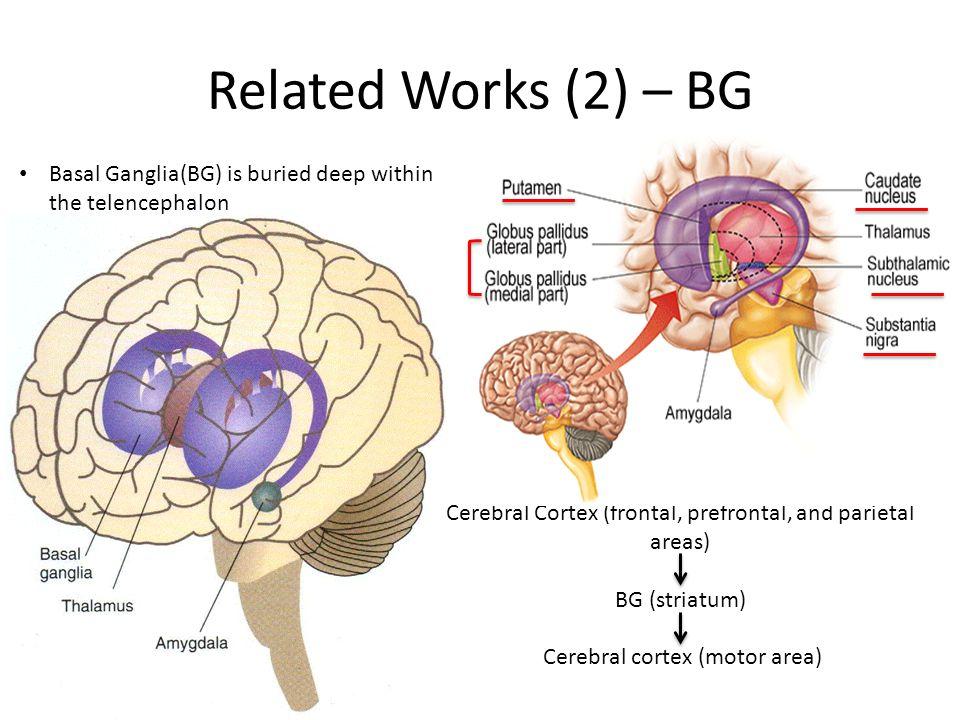Enchanting Brain Anatomy Basal Ganglia Image - Anatomy And ...
