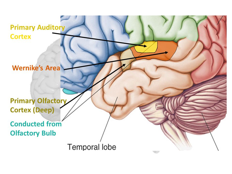 Primary Auditory Cortex Wernike's Area Primary Olfactory Cortex (Deep) Conducted from Olfactory Bulb