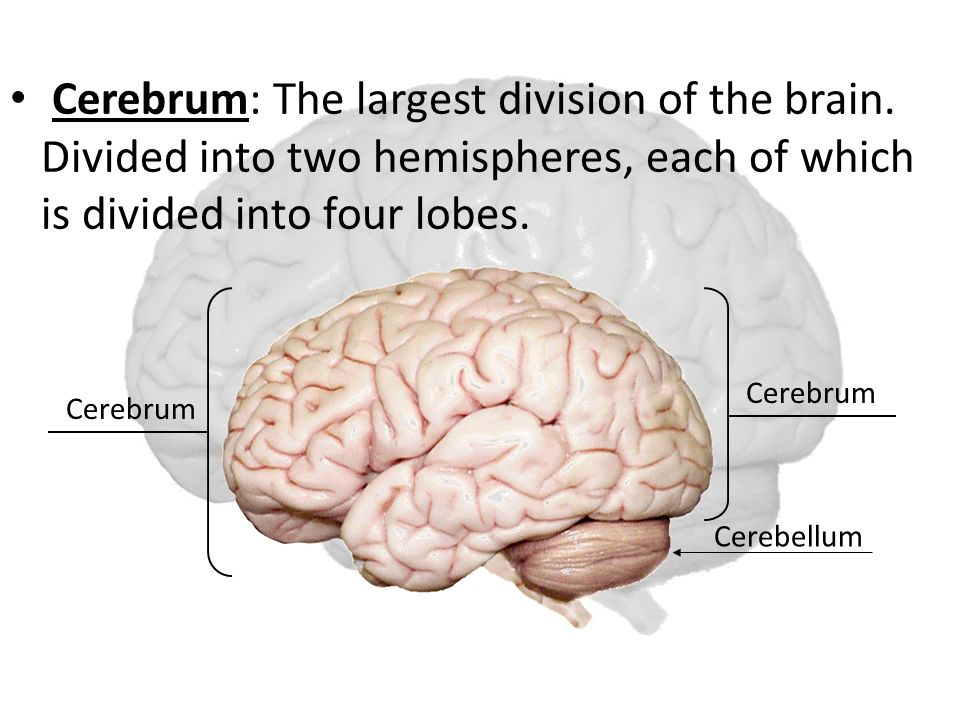 Cerebrum: The largest division of the brain.