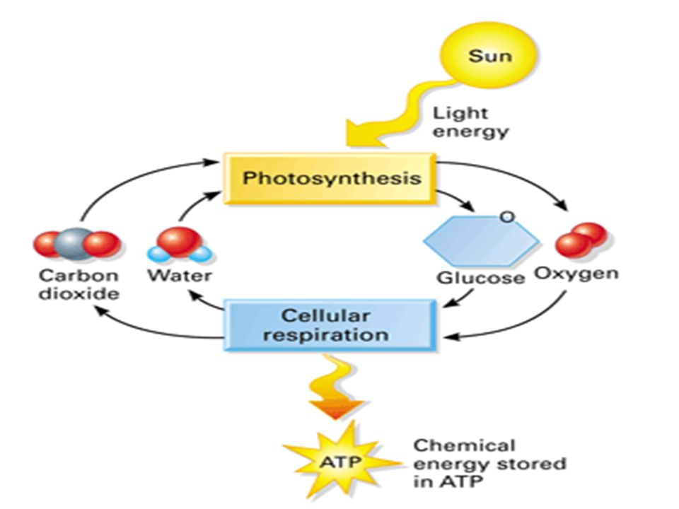 Energy and life autotrophs vs heterotrophs atp photosynthesis 34 overview of photosynthesis and respiration photosynthesis cellactivities respiration sun radiant energy glucoseatpenergy ccuart Images