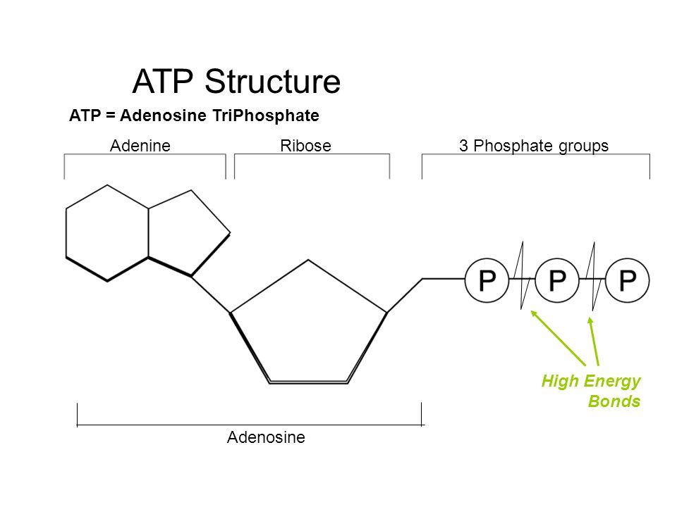 Bonds Of Atp Diagram Diy Enthusiasts Wiring Diagrams