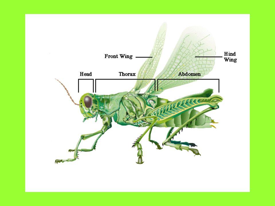 The Grasshopper. - ppt video online download