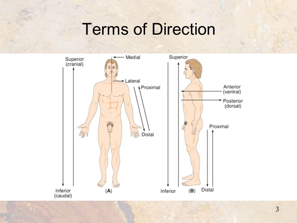 Chapter 1 The Human Body 2 Introduction Anatomy The Study Of The