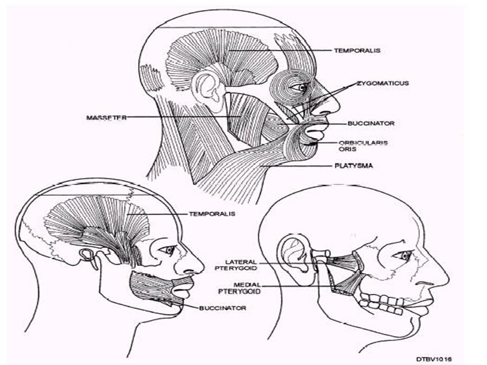 Muscles Of Mastication Muscle Of Mastication Lateral Pterygoid