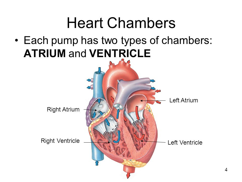 Heart The Heart Is Two Pumps Left And Right Left Pump From Lungs