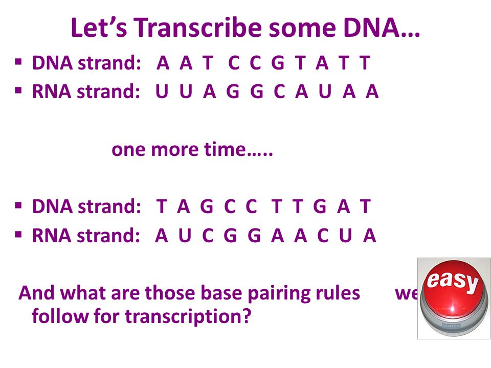 Let's Transcribe some DNA…  DNA strand: A A T C C G T A T T  RNA strand: U U A G G C A U A A one more time…..
