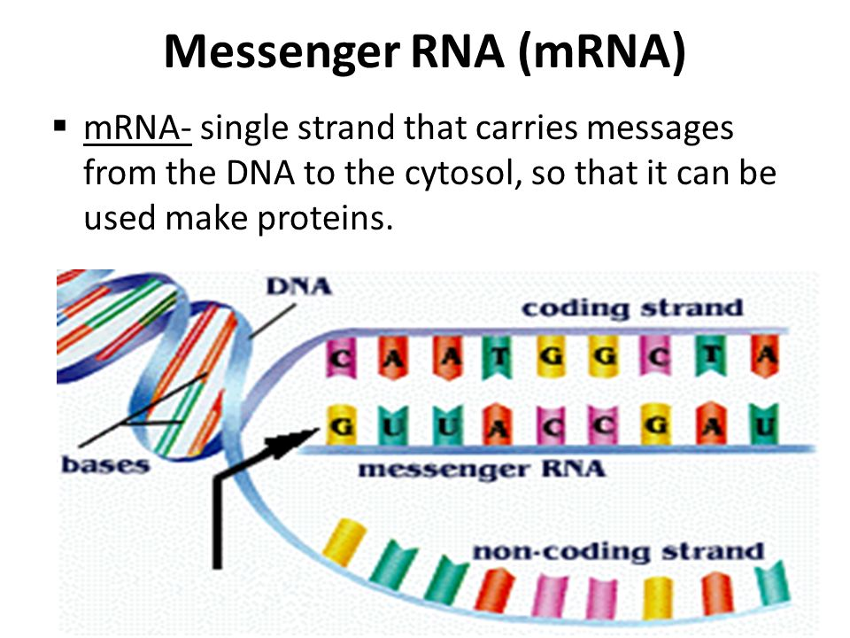 Messenger RNA (mRNA)  mRNA- single strand that carries messages from the DNA to the cytosol, so that it can be used make proteins.