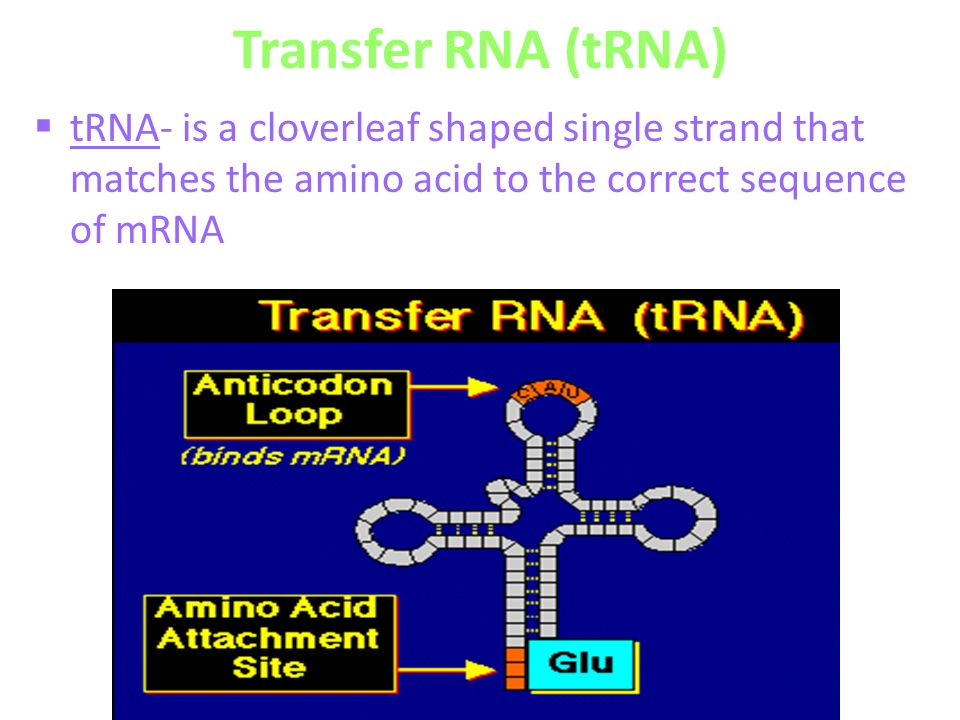 Transfer RNA (tRNA)  tRNA- is a cloverleaf shaped single strand that matches the amino acid to the correct sequence of mRNA