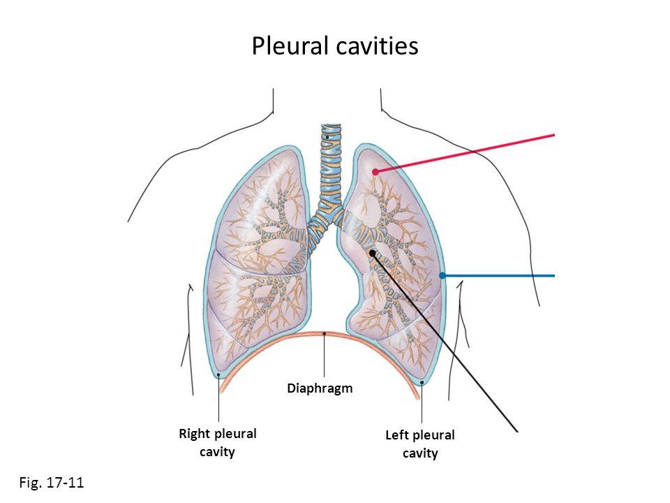 Pleural cavities Fig Diaphragm Right pleural cavity Left pleural ...