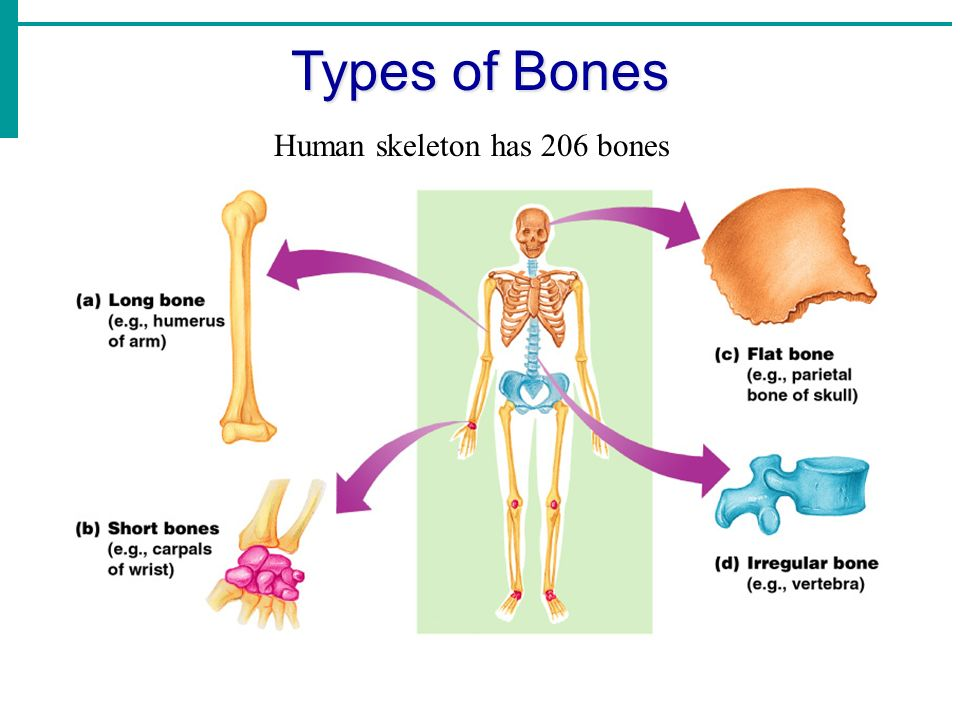 Unit 3.5 The Skeletal & Muscular Systems. Functions of Bones ...