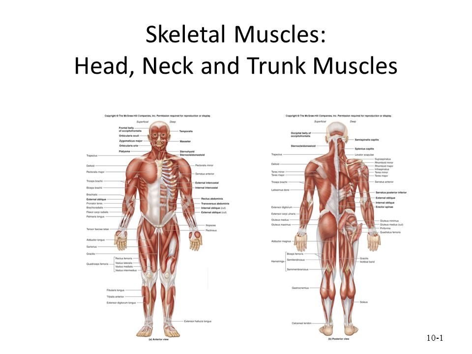Skeletal Muscles Head Neck And Trunk Muscles Ppt Download