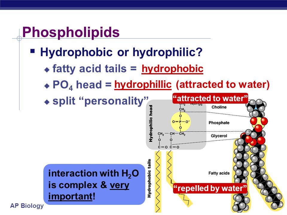 AP Biology Phospholipids  Structure:  Made of a glycerol molecule + 2 fatty acids + PO 4 (phosphate group)  PO 4 = negatively charged