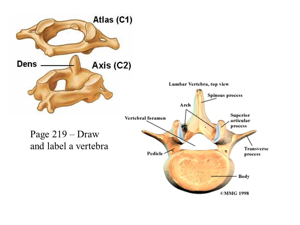 Bones Of The Axial Skeleton Continued Agenda Double Curvature Of