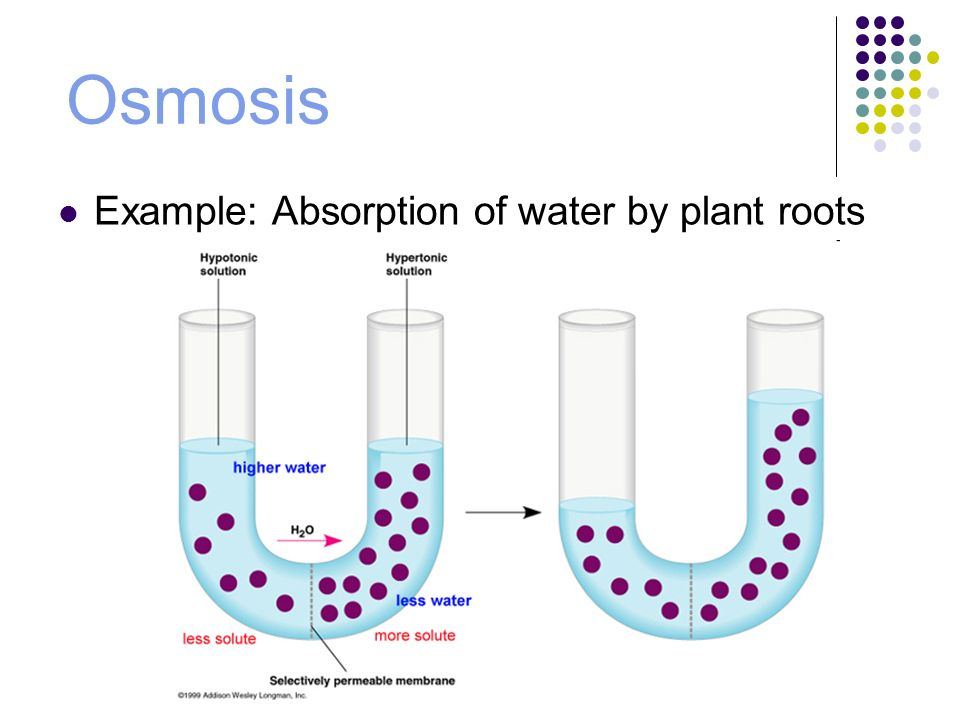 water can kill exploring effects of osmosis essay Reverse osmosis (ro) is a water purification technology that uses a semipermeable membrane to remove ions, molecules and larger particles from drinking water in reverse osmosis, an applied pressure is used to overcome osmotic pressure, a colligative property, that is driven by chemical potential differences of the solvent, a thermodynamic parameter.