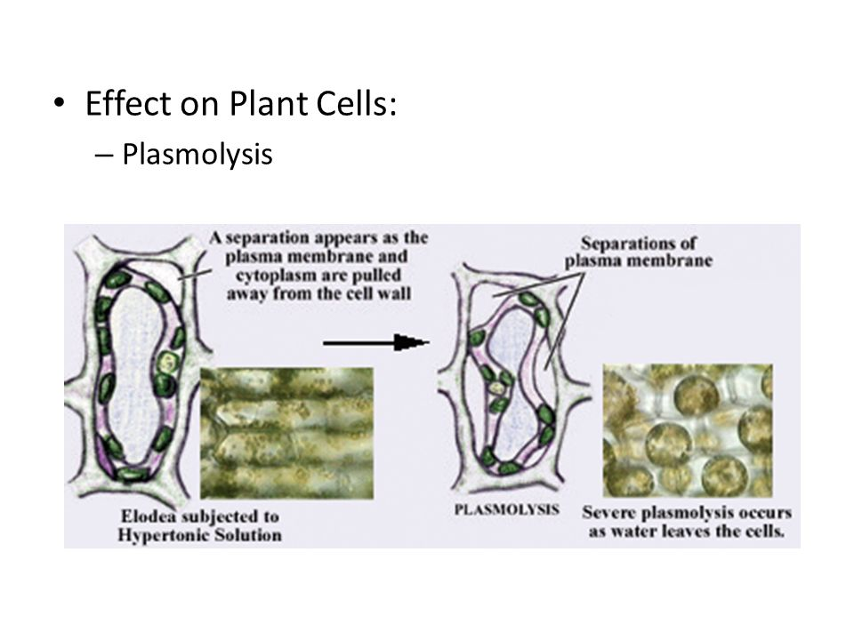 Effect on Plant Cells: – Plasmolysis