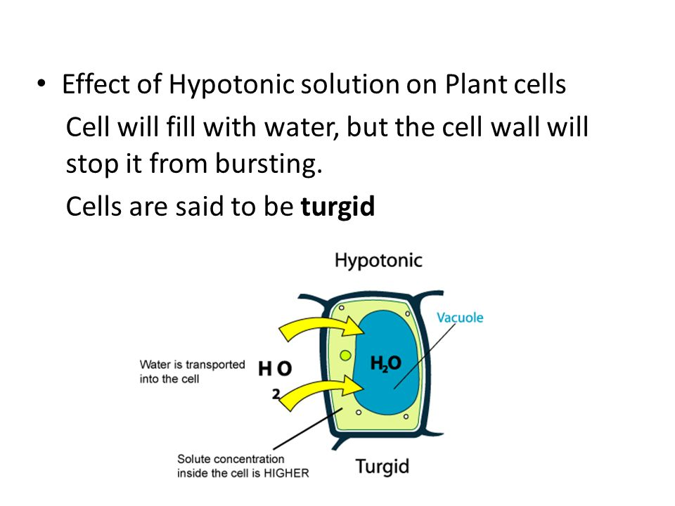 Effect of Hypotonic solution on Plant cells Cell will fill with water, but the cell wall will stop it from bursting.