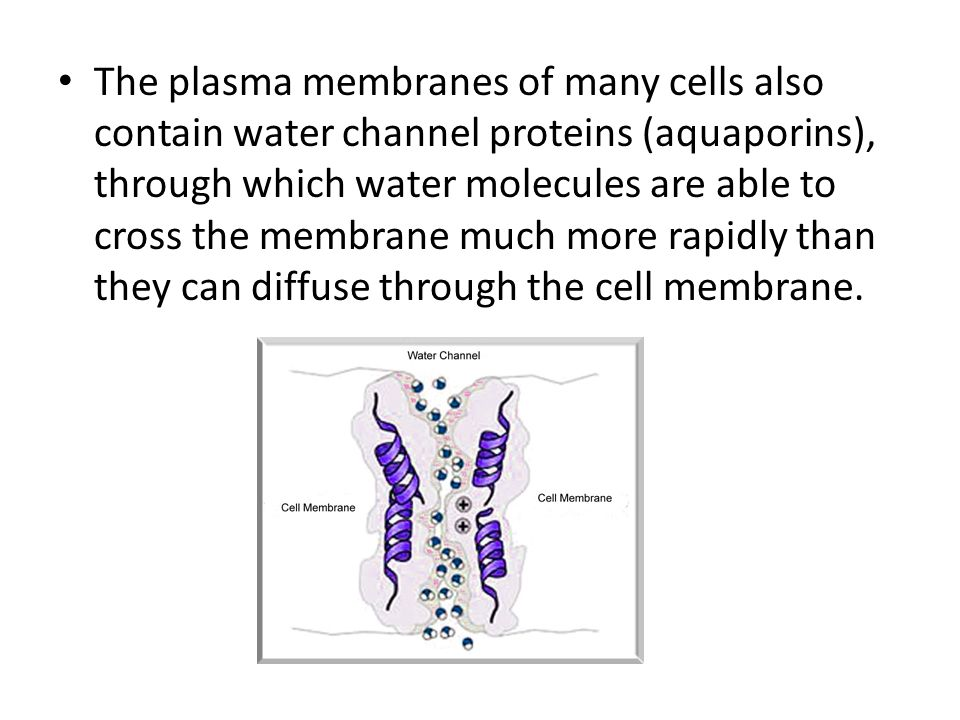 The plasma membranes of many cells also contain water channel proteins (aquaporins), through which water molecules are able to cross the membrane much more rapidly than they can diffuse through the cell membrane.
