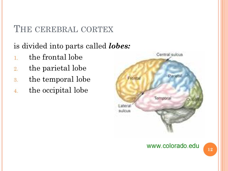 T HE CEREBRAL CORTEX is divided into parts called lobes: 1.