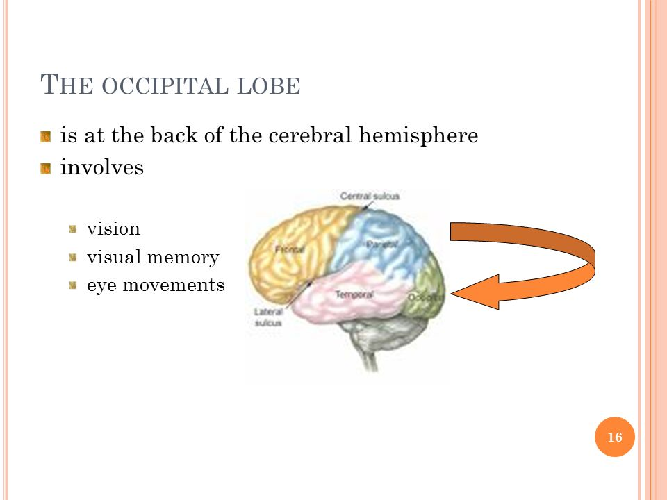 T HE OCCIPITAL LOBE is at the back of the cerebral hemisphere involves vision visual memory eye movements 16