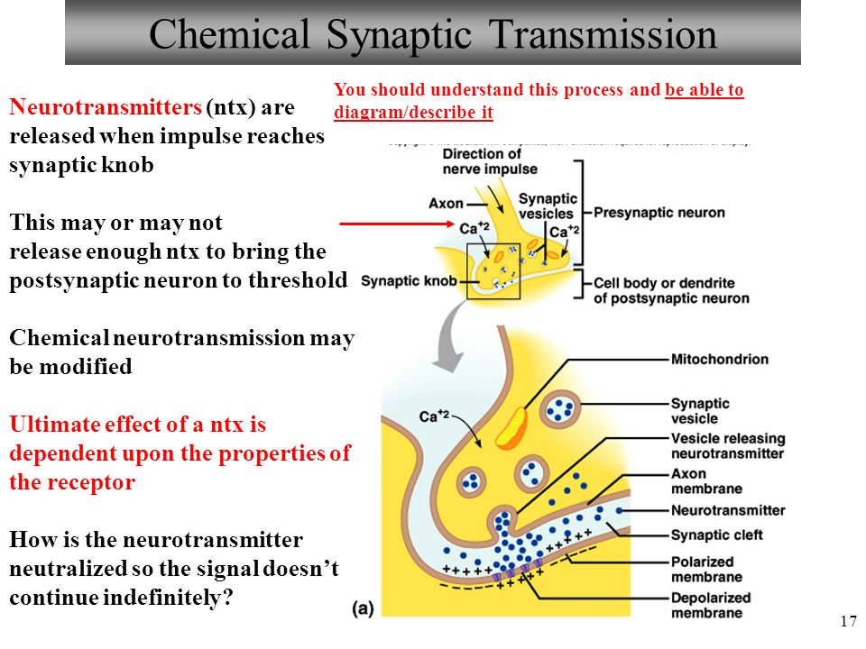 17 Chemical Synaptic Transmission Neurotransmitters (ntx) are released when impulse reaches synaptic knob This may or may not release enough ntx to bring the postsynaptic neuron to threshold Chemical neurotransmission may be modified Ultimate effect of a ntx is dependent upon the properties of the receptor How is the neurotransmitter neutralized so the signal doesn't continue indefinitely.