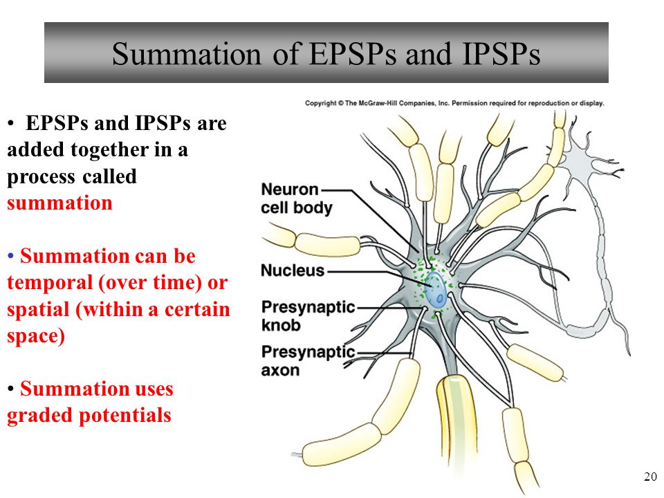 20 Summation of EPSPs and IPSPs EPSPs and IPSPs are added together in a process called summation Summation can be temporal (over time) or spatial (within a certain space) Summation uses graded potentials