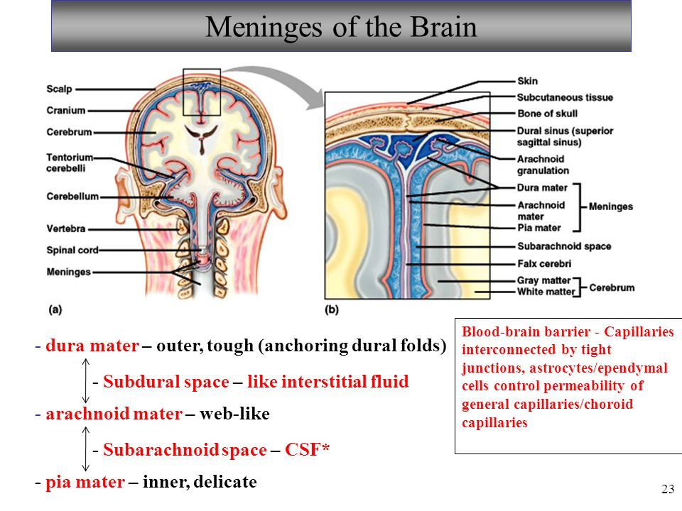 23 Meninges of the Brain - dura mater – outer, tough (anchoring dural folds) - arachnoid mater – web-like - pia mater – inner, delicate - Subdural space – like interstitial fluid - Subarachnoid space – CSF* Blood-brain barrier - Capillaries interconnected by tight junctions, astrocytes/ependymal cells control permeability of general capillaries/choroid capillaries