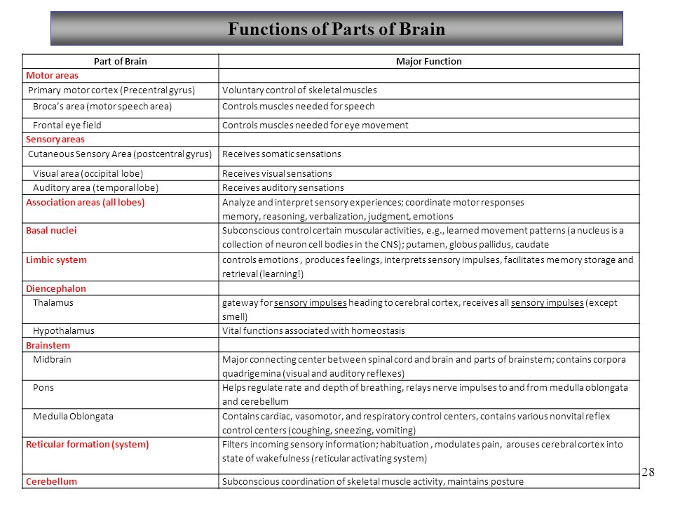 Functions of Parts of Brain 28 Part of BrainMajor Function Motor areas Primary motor cortex (Precentral gyrus)Voluntary control of skeletal muscles Broca's area (motor speech area)Controls muscles needed for speech Frontal eye fieldControls muscles needed for eye movement Sensory areas Cutaneous Sensory Area (postcentral gyrus)Receives somatic sensations Visual area (occipital lobe)Receives visual sensations Auditory area (temporal lobe)Receives auditory sensations Association areas (all lobes) Analyze and interpret sensory experiences; coordinate motor responses memory, reasoning, verbalization, judgment, emotions Basal nuclei Subconscious control certain muscular activities, e.g., learned movement patterns (a nucleus is a collection of neuron cell bodies in the CNS); putamen, globus pallidus, caudate Limbic system controls emotions, produces feelings, interprets sensory impulses, facilitates memory storage and retrieval (learning!) Diencephalon Thalamus gateway for sensory impulses heading to cerebral cortex, receives all sensory impulses (except smell) HypothalamusVital functions associated with homeostasis Brainstem Midbrain Major connecting center between spinal cord and brain and parts of brainstem; contains corpora quadrigemina (visual and auditory reflexes) Pons Helps regulate rate and depth of breathing, relays nerve impulses to and from medulla oblongata and cerebellum Medulla Oblongata Contains cardiac, vasomotor, and respiratory control centers, contains various nonvital reflex control centers (coughing, sneezing, vomiting) Reticular formation (system) Filters incoming sensory information; habituation, modulates pain, arouses cerebral cortex into state of wakefulness (reticular activating system) CerebellumSubconscious coordination of skeletal muscle activity, maintains posture