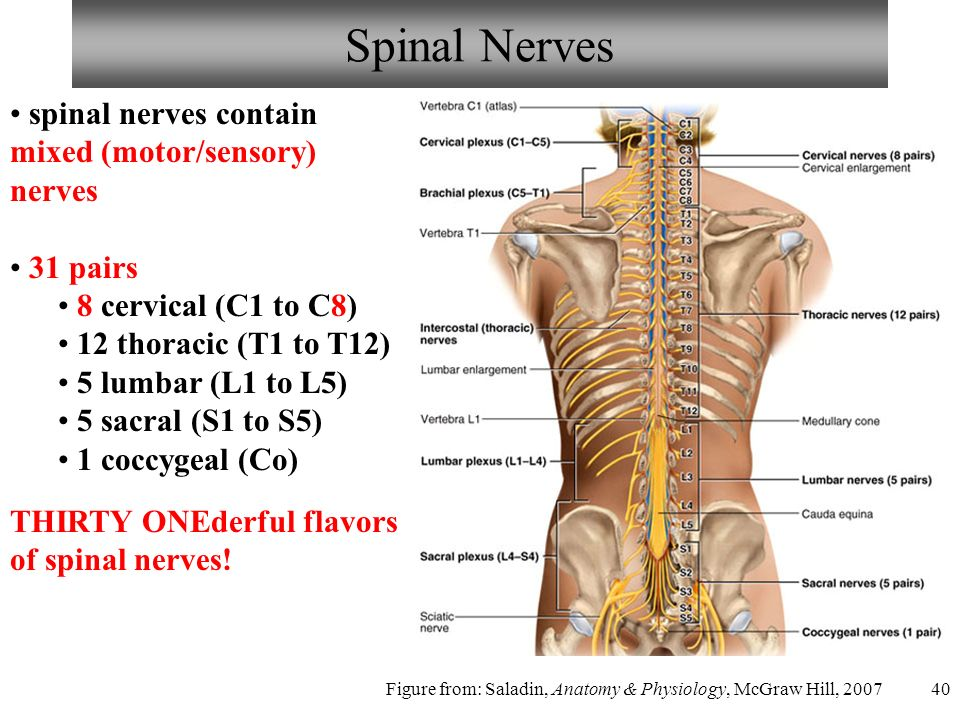 40 Spinal Nerves spinal nerves contain mixed (motor/sensory) nerves 31 pairs 8 cervical (C1 to C8) 12 thoracic (T1 to T12) 5 lumbar (L1 to L5) 5 sacral (S1 to S5) 1 coccygeal (Co) THIRTY ONEderful flavors of spinal nerves.