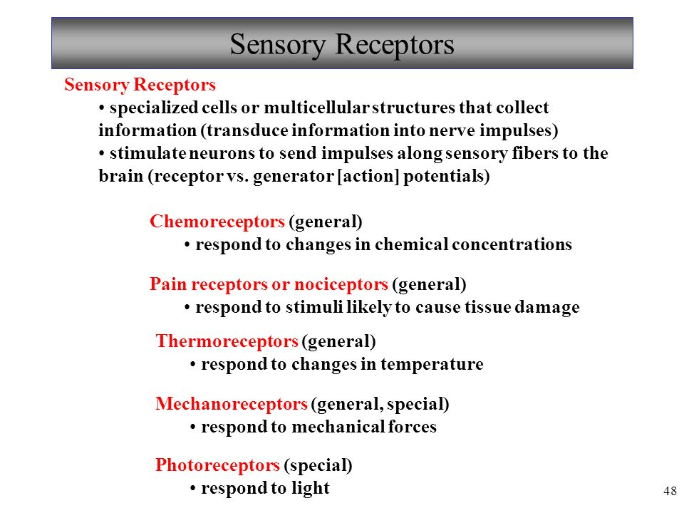 48 Sensory Receptors specialized cells or multicellular structures that collect information (transduce information into nerve impulses) stimulate neurons to send impulses along sensory fibers to the brain (receptor vs.