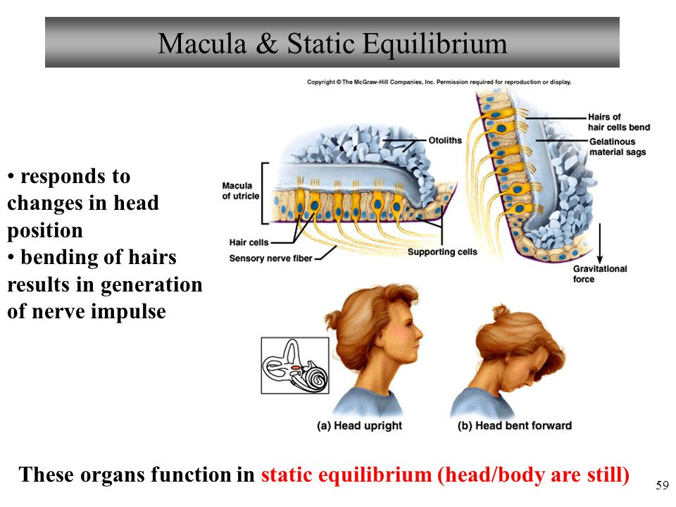 59 Macula & Static Equilibrium responds to changes in head position bending of hairs results in generation of nerve impulse These organs function in static equilibrium (head/body are still)
