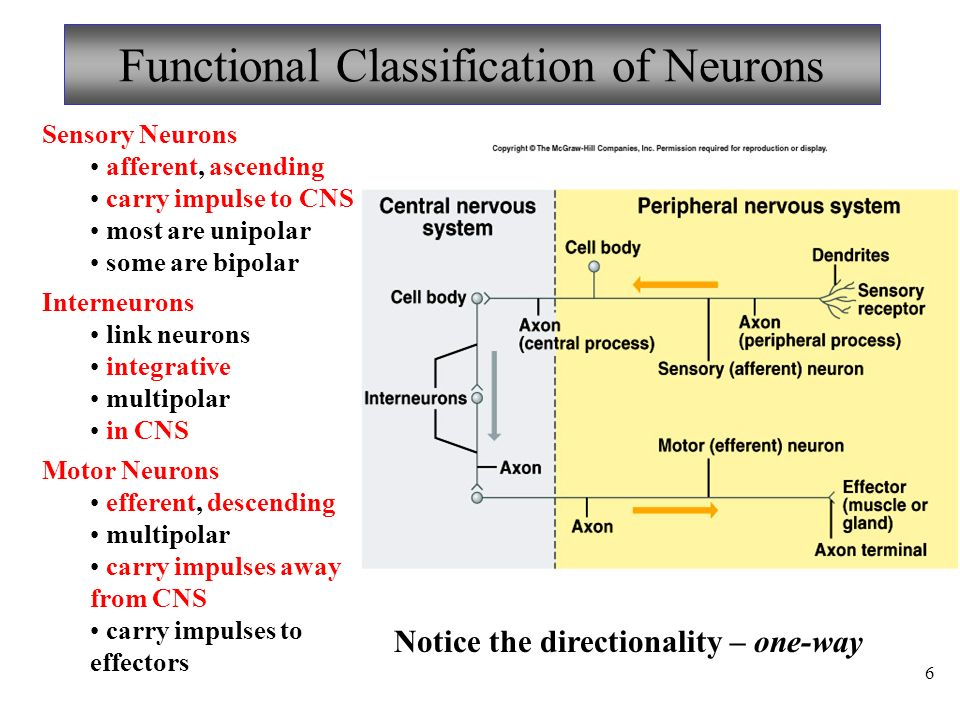 6 Functional Classification of Neurons Sensory Neurons afferent, ascending carry impulse to CNS most are unipolar some are bipolar Interneurons link neurons integrative multipolar in CNS Motor Neurons efferent, descending multipolar carry impulses away from CNS carry impulses to effectors Notice the directionality – one-way