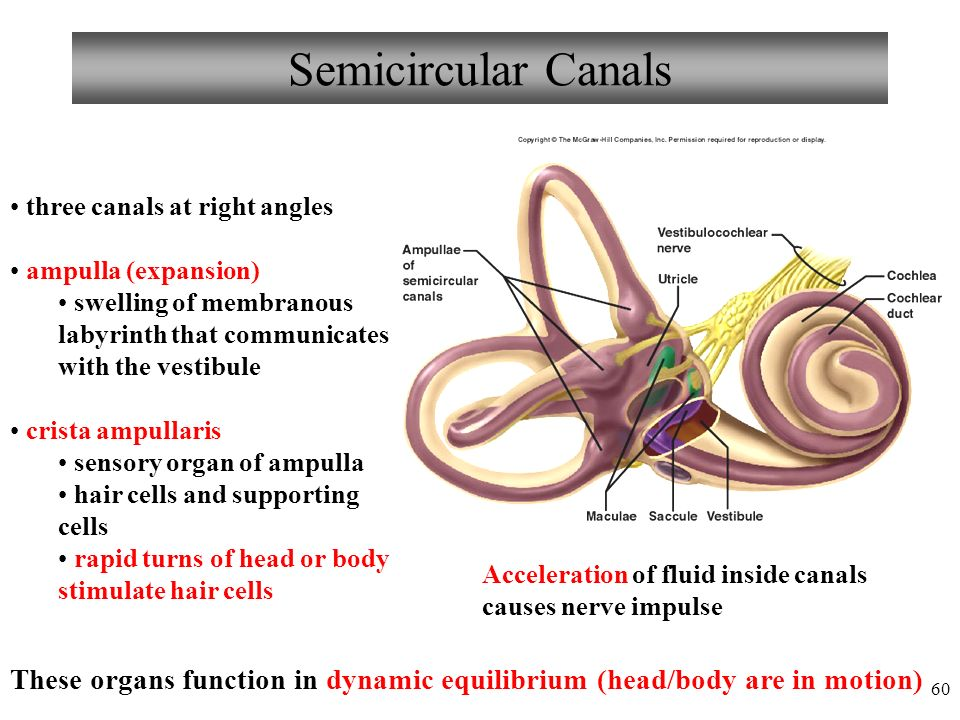 60 Semicircular Canals three canals at right angles ampulla (expansion) swelling of membranous labyrinth that communicates with the vestibule crista ampullaris sensory organ of ampulla hair cells and supporting cells rapid turns of head or body stimulate hair cells Acceleration of fluid inside canals causes nerve impulse These organs function in dynamic equilibrium (head/body are in motion)