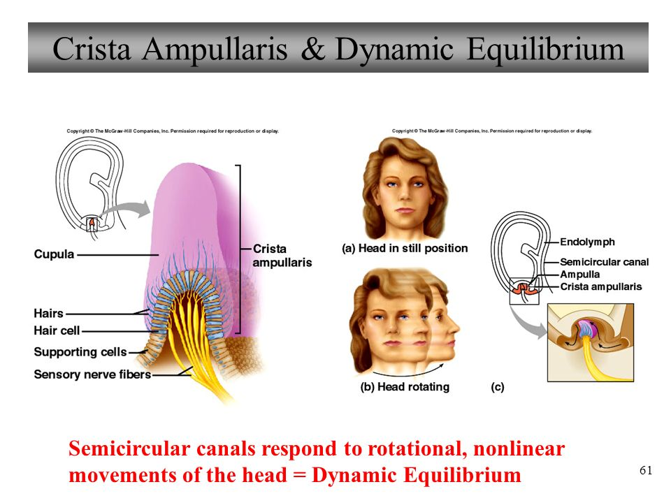 61 Crista Ampullaris & Dynamic Equilibrium Semicircular canals respond to rotational, nonlinear movements of the head = Dynamic Equilibrium