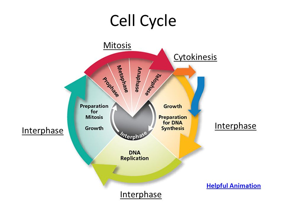 Printable Worksheets cell cycle worksheets : The Cell Cycle Coloring Worksheet Answers - Page 3 ...