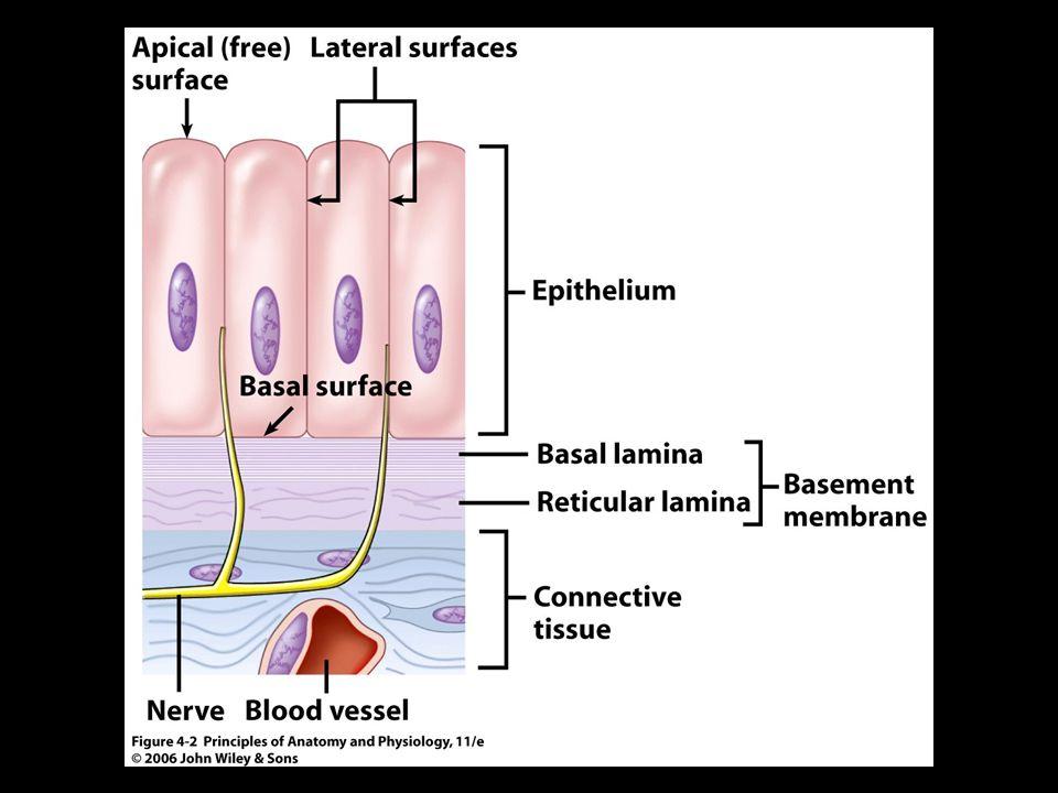 Excelente Anatomy And Physiology Epithelial Tissue Composición ...