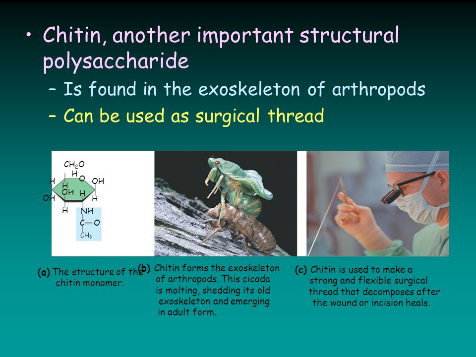 Chitin, another important structural polysaccharide –Is found in the exoskeleton of arthropods –Can be used as surgical thread (a) The structure of the chitin monomer.