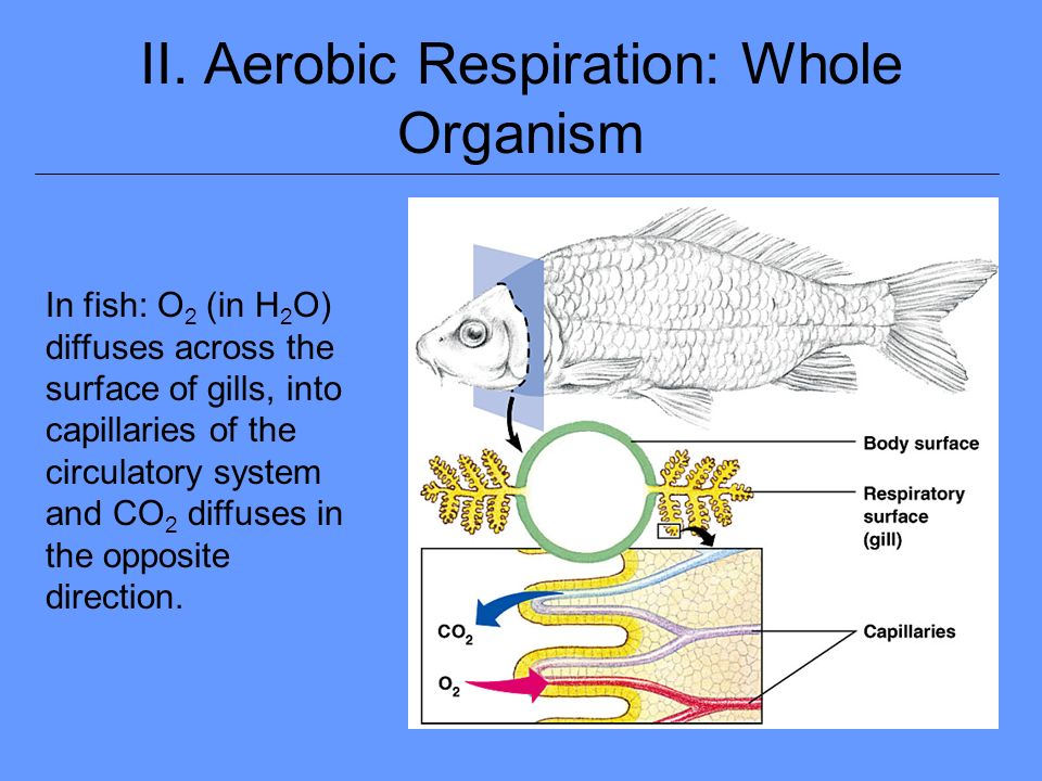 Cellular respiration diagram for fish trusted wiring diagram lab 7 aerobic cellular respiration and pea ppt download rh slideplayer com basic diagram of cellular ccuart Choice Image