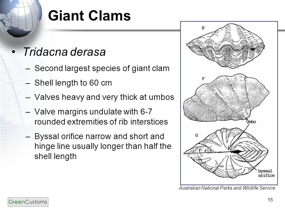 Identification Of Giant Clams Family Tridacnidae Developed By The