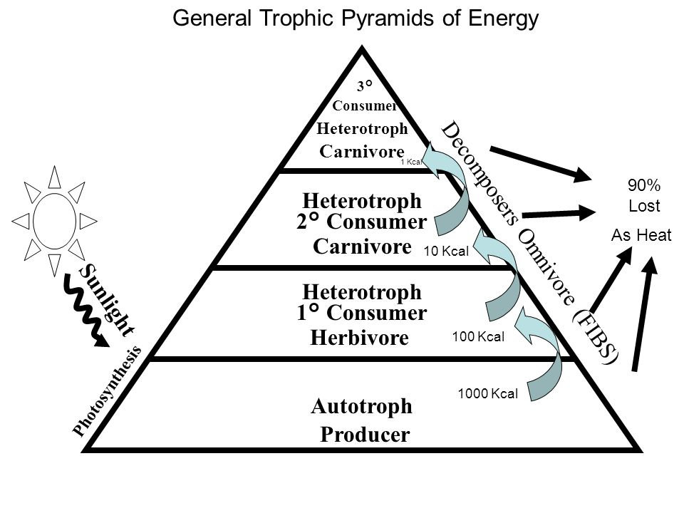 General Trophic Pyramids of Energy Sunlight Producer Autotroph ...