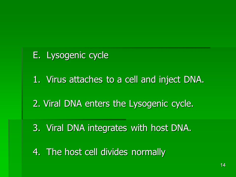 14 E. Lysogenic cycle 1. Virus attaches to a cell and inject DNA.