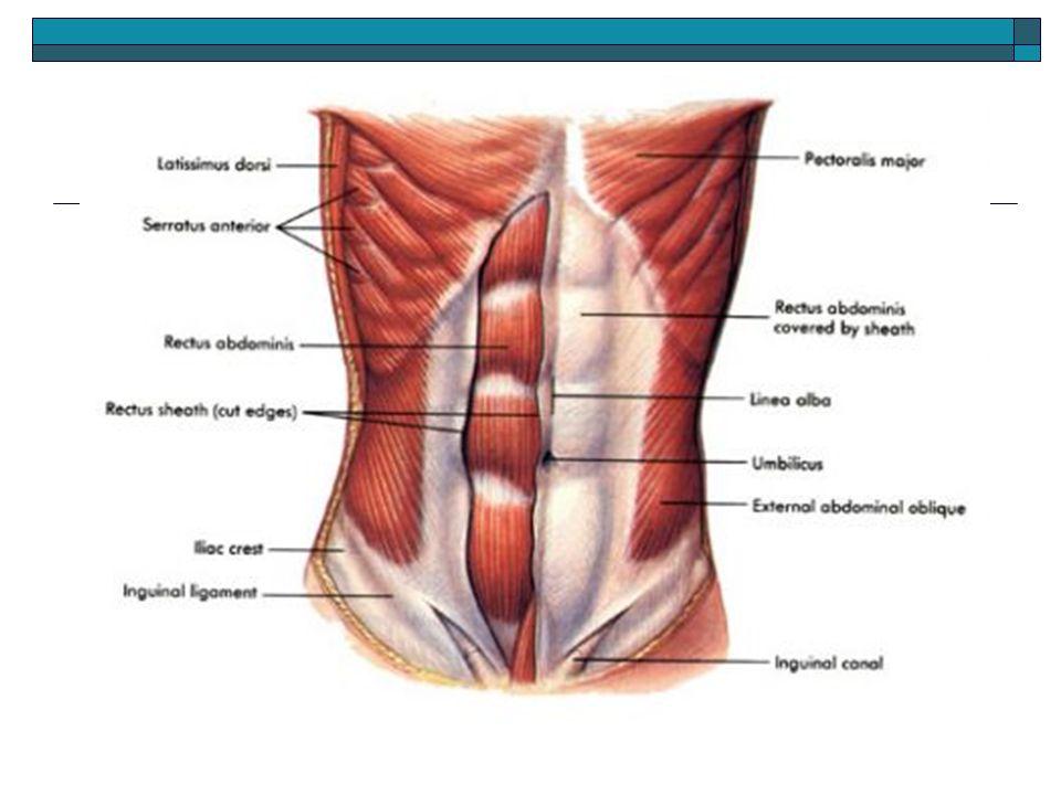 """Abdomen Latin for """"belly"""". Abdomen  Anatomy  Injuries ..."""