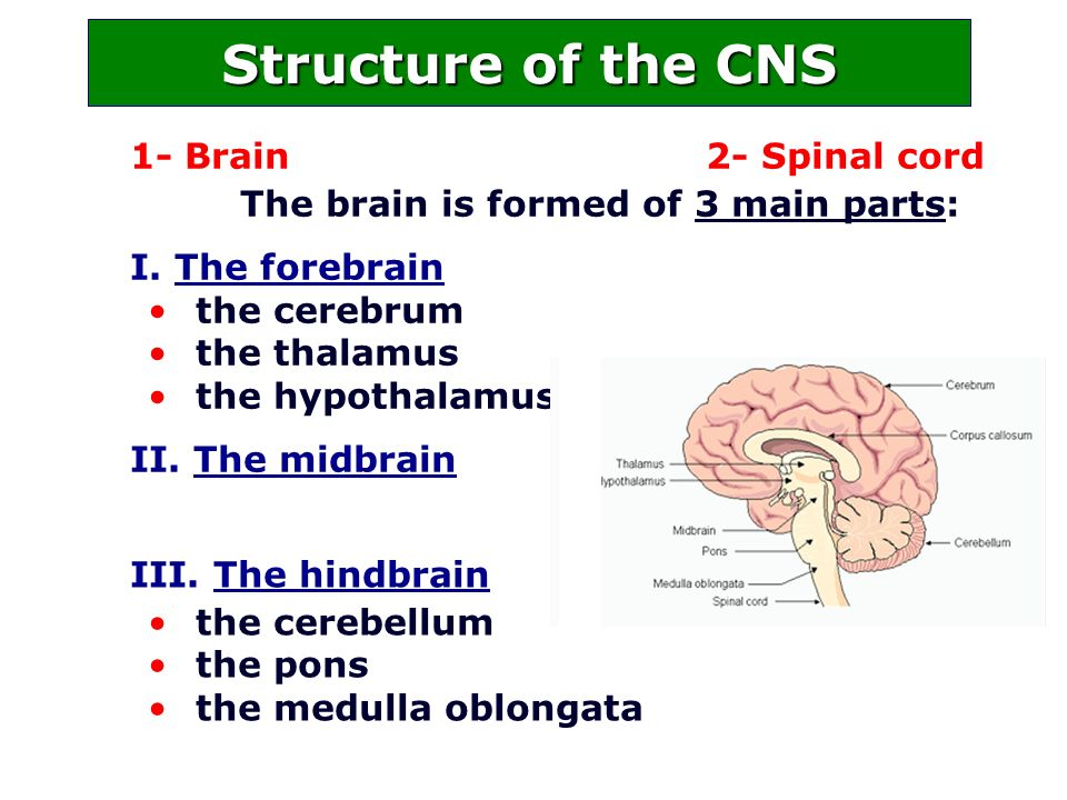 1- Brain 2- Spinal cord The brain is formed of 3 main parts: