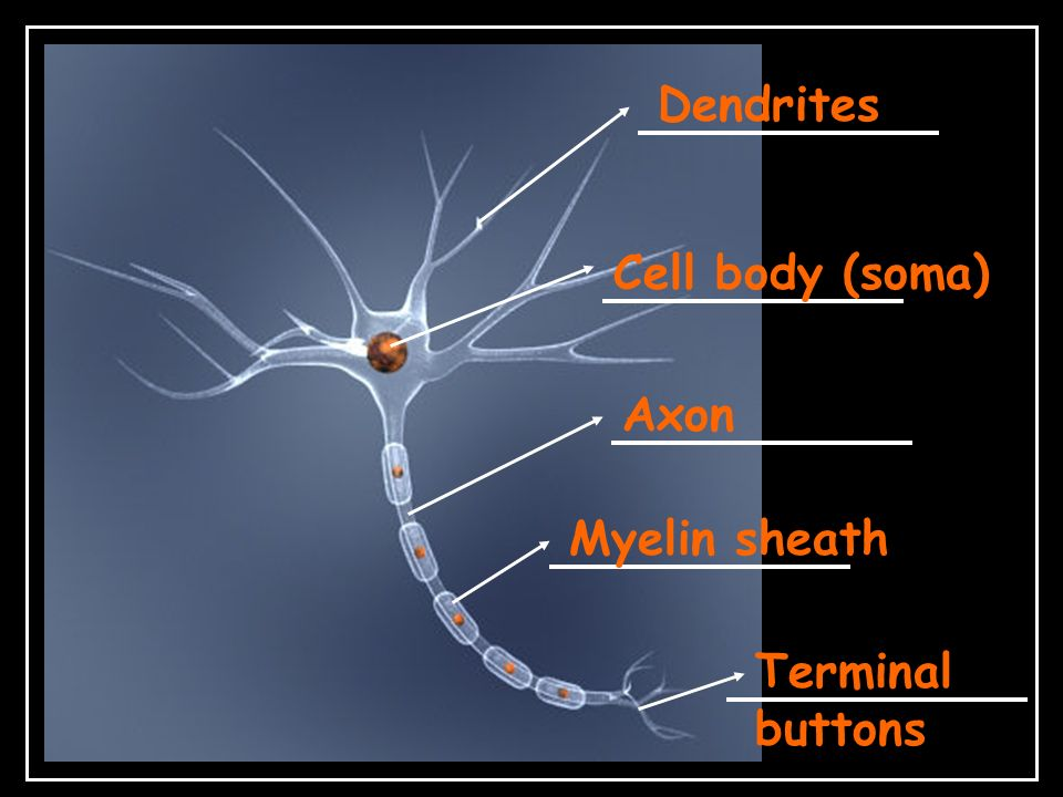 Dendrites Cell body (soma) Axon Myelin sheath Terminal buttons