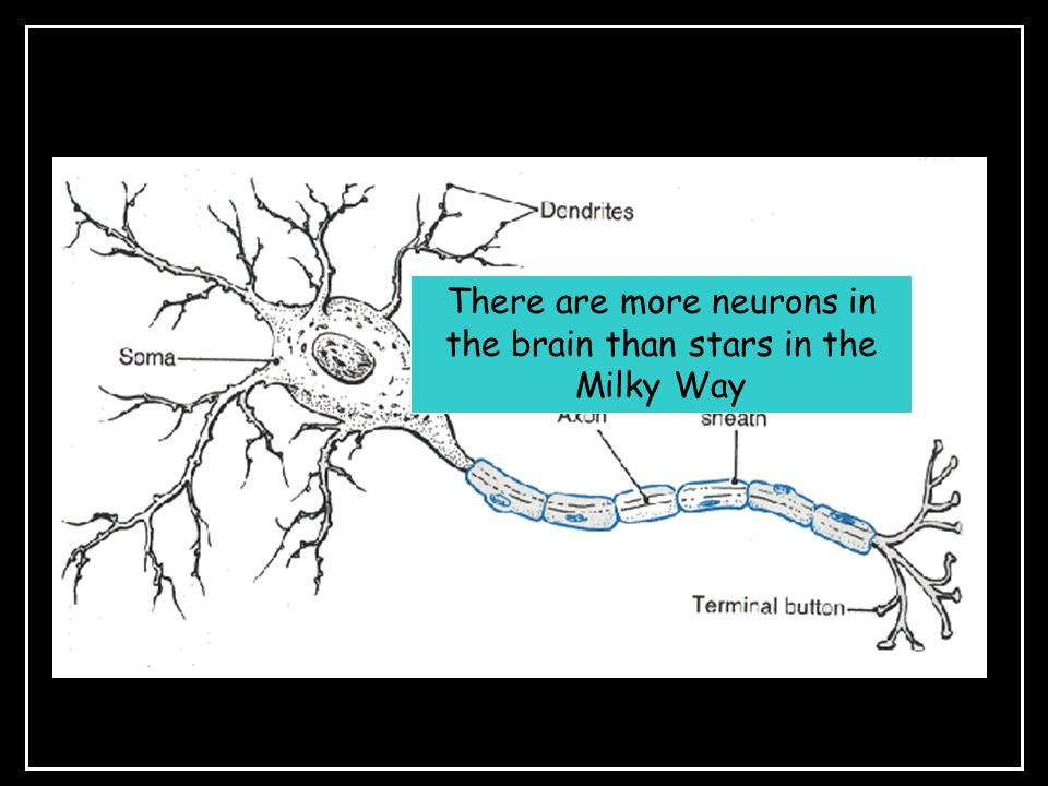 There are more neurons in the brain than stars in the Milky Way