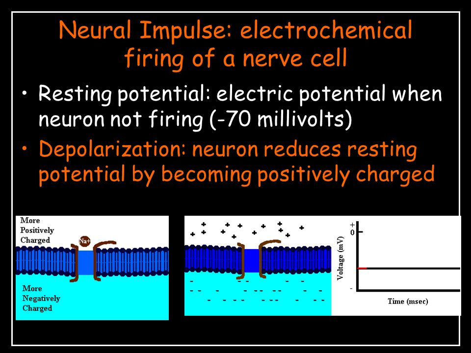 Neural Impulse: electrochemical firing of a nerve cell Resting potential: electric potential when neuron not firing (-70 millivolts) Depolarization: neuron reduces resting potential by becoming positively charged