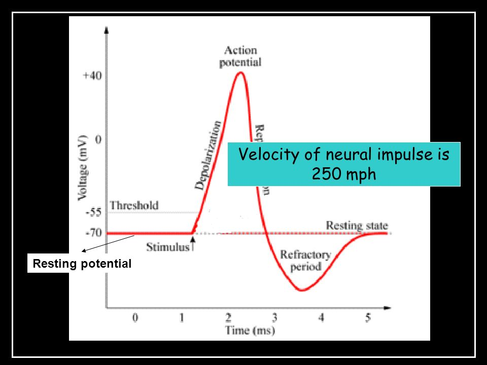 Velocity of neural impulse is 250 mph Resting potential