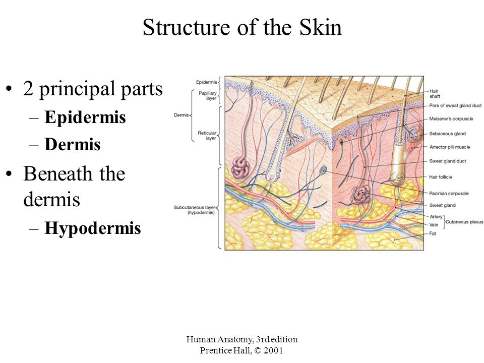 The Integumentary System Chapter 5. Integumentary System Structure ...