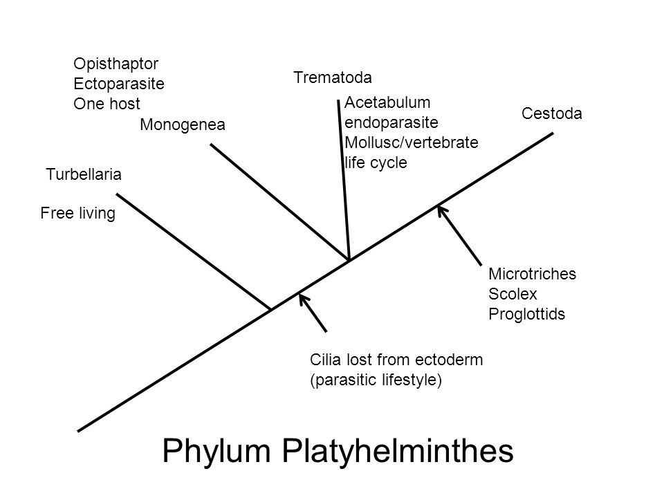 Platyhelminthes Pt 2 Digene Trematodes And Tapeworms Ppt Download