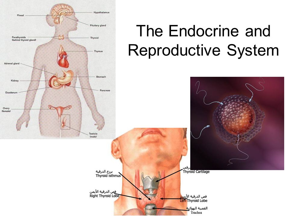 The Endocrine and Reproductive System. What is the Endocrine System ...