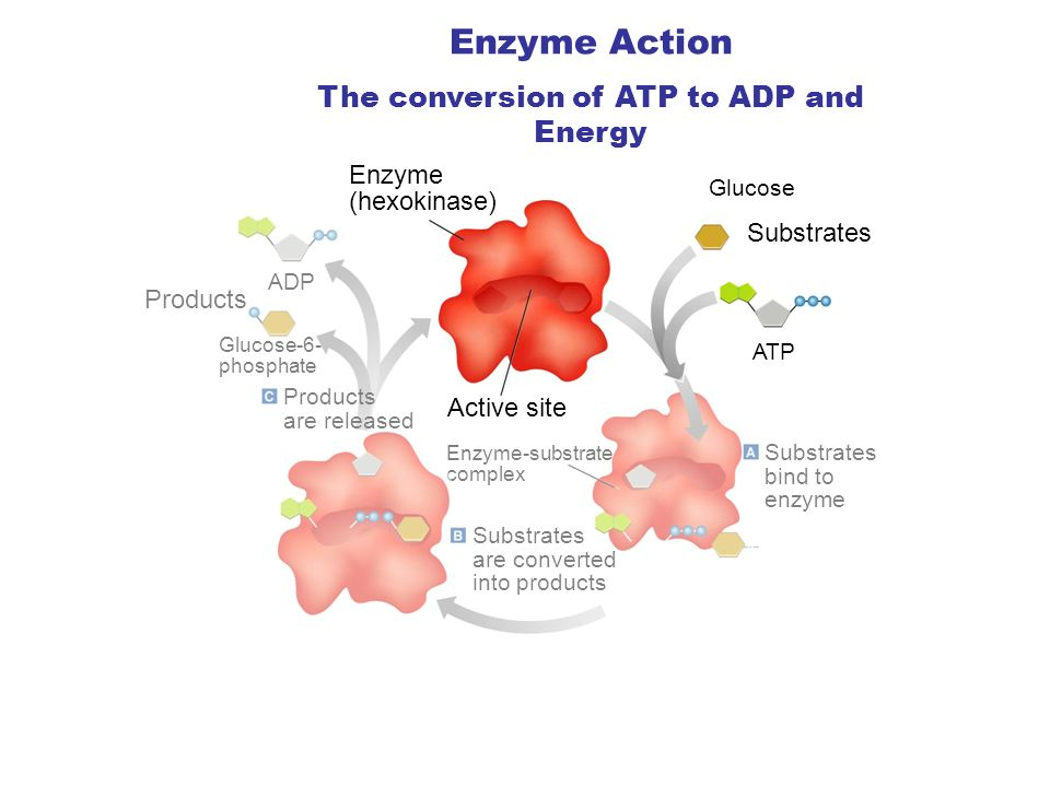 Glucose Substrates ATP Substrates bind to enzyme Substrates are converted into products Enzyme-substrate complex Enzyme (hexokinase) ADP Products Glucose-6- phosphate Products are released Section 2-4 Enzyme Action The conversion of ATP to ADP and Energy Go to Section: Active site